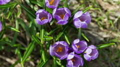 Opening crocus flowers timelapse - top view - stock footage