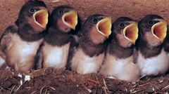 Hungry young swallows in nest looking for adults and begging, close up Stock Footage