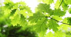 Fresh young green oak leaves in bright sun light Stock Footage