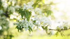 Sun peaking through branches of blossom apple tree Stock Footage