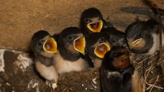 young hungry swallows in nest begging and are fed, slomo, closeup - stock footage