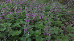 4k Beautiful spotted dead-nettle flowers with purpure blossom Stock Footage