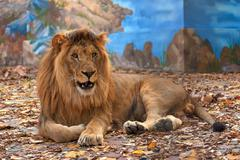 Male lion in captivity Stock Photos