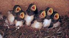 Six young swallows in nest begging for food and are fed once, slomo, closeup Stock Footage