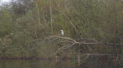 4k Grey heron on tree branch zoom out lake sunny nature reserve Stock Footage
