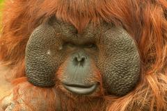 Orangutan (Pongo pygmaeus) Stock Photos