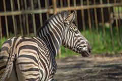Zebra in captivity Stock Photos