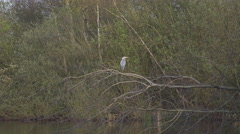 4k Grey heron sitting on tree branch over lake sunny nature reserve Stock Footage