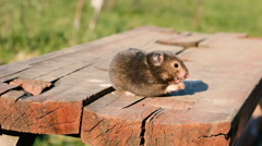 Hamster on a wooden bench in the yard - stock footage