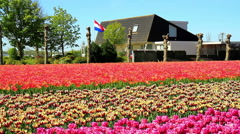 Flag of the Netherlands. Field of tulips. Stock Footage