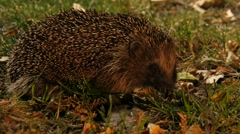 Hedgehog finds some food in garden and eats noisily Stock Footage