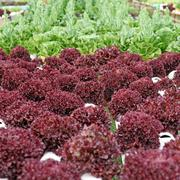 Organic hydroponic vegetable Stock Photos