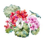 Watercolor geranium composition - stock illustration