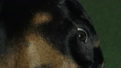 Veterinary Doctor cleaning dog eyes, close-up of a Doberman - stock footage