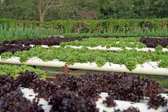 organic hydroponic vegetable - stock photo