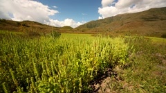 Chia field in Peru in the Andes Stock Footage