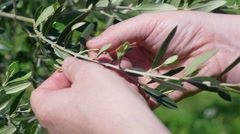 Focus on hands touching olive leaves Stock Footage