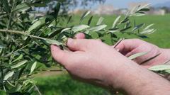 Detail of hands take care of olive twig Stock Footage
