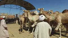 Local camel salesmen on Camel market using stick to control them. Stock Footage