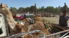 Camel on the back of truck on Camel Market in Daraw, Egypt. Stock Footage