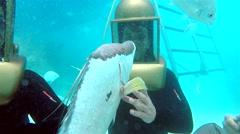 Guy hugging a big hogfish at the Bermuda Helmet Diving tour. Stock Footage