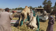 Local camel salesmen on Camel market loading camels to trucks. Stock Footage