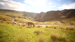 Lamas in Andes of Peru in South America Stock Footage