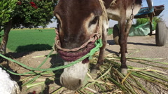 Donkey eating sugar cane leaves alongside road in Luxor Stock Footage