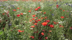 Panning of a field with poppies, cornflowers and chamomile flowers Stock Footage