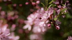 Pink blooming branches swaying in the wind Stock Footage