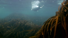 Gray seal Larga swims in underwater grass in Japan Sea. Stock Footage