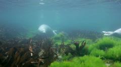 Grey seals Larga sea sport under water in the Sea of Japan. Stock Footage