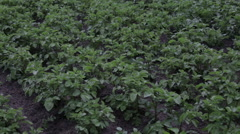 Potato plants with white flowers in a large field Stock Footage