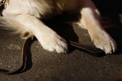 detail of seated golden retriever paws - stock photo