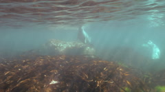 Gray seal swims  in underwater grass in Japan Sea. Stock Footage
