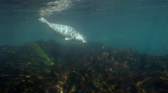 Grey seals sea looking for food under water among rocks and green grass in Sea. Stock Footage