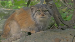 Close up Pallas's cat (Felis Otocolobus manul) crouched on a rock looks around. Stock Footage