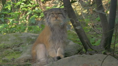 Pallas's cat (Otocolobus manul, Felis manul) looks around and scratches. Stock Footage