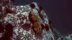 Underwater rock underwater with black urchins and oysters in the Sea of Japan. - stock footage