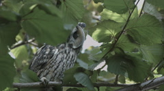 Owl-tree-wildlife-ungraded Stock Footage