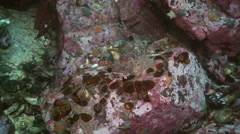 Underwater rock underwater with black urchins and starfish in the Sea of Japan. Stock Footage