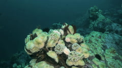 Starfish and sea anemone among rocks on seabed. Stock Footage