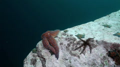 Starfish and sea urchins among rocks on seabed. Stock Footage
