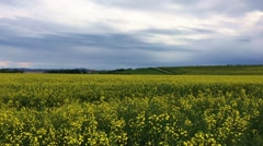 Yellow field of rape plant, used for making canola oil or adding in biofuel Stock Footage