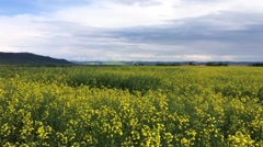 Yellow field of rape plant, used for making canola oil or adding in biofuel, Stock Footage