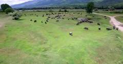Buffalo grazing next to the river Strymon spring in Northern Greece Stock Footage