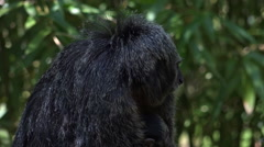 White-faced Saki monkey mother with cute baby close up slow motion Stock Footage