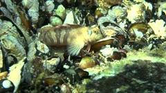 Sphynx blenny (Aidablennius sphynx). Stock Footage