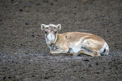 Saiga antelope (Saiga tatarica) - stock photo