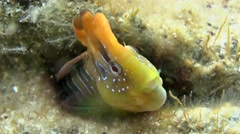Peacock blenny (Salaria pavo). Stock Footage